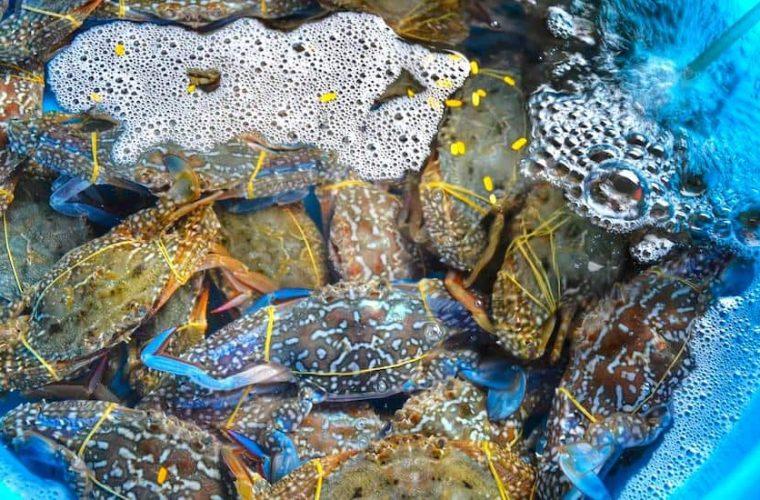 Blue Swimming Crab